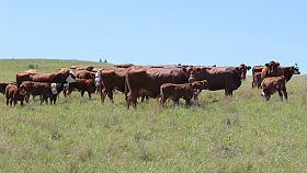 Researchers link cattle behavior to efficient beef production